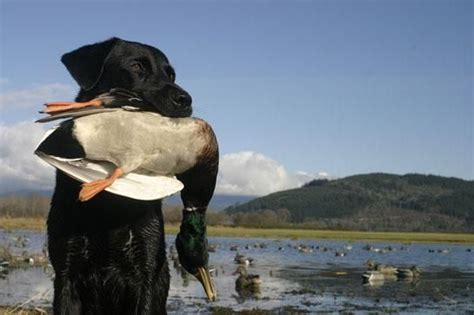best duck dogs dogs best breeds for every anima best dogs