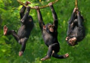 monkey swinging on a vine researchers find chimpanzees have personalities identical