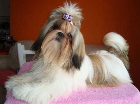 shih tzu intelligence ranking las 13 razas de perros m 195 161 s tontas y las m 195 161 s inteligentes