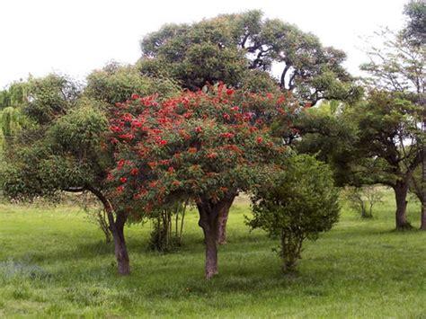 imagenes de flores y arboles 193 rboles con flores el ceibo