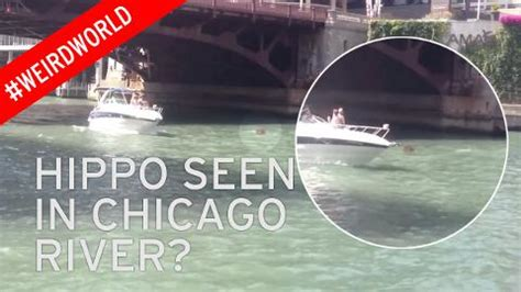 refugee boat hoax bizarre video of hippo swimming in chicago river sparks