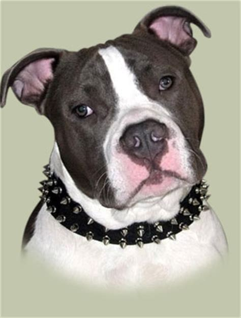 spiked collars for pitbulls pitbull collars uk best style spiked collars for pitbull