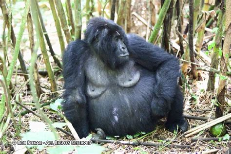 Home Of Queen Elizabeth by Pregnant Gorilla