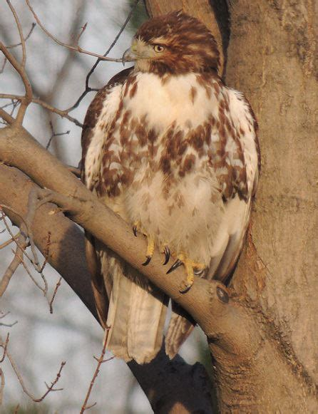 ann brokelman photography red tailed hawk rescue but no
