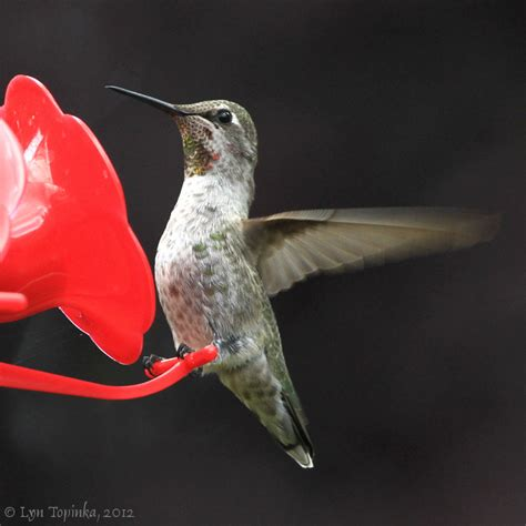 top 28 hummingbird feeder vancouver is it easy to