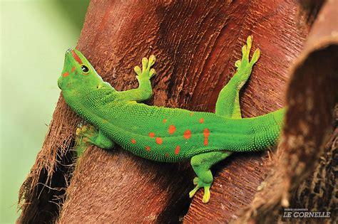 alimentazione geco geco diurno
