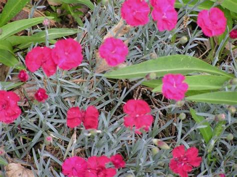 hot pink annual flowers dianthus cheddar jpg hi res 720p hd
