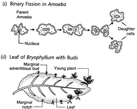 diagram of binary fission in amoeba how do organisms reproduce chapter wise important
