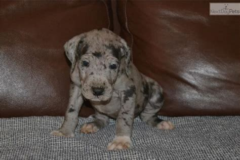 merle great dane puppies for sale great dane puppy for sale near eastern nc carolina 3dc12407 2d01