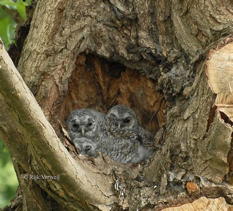 owl nesties gallery