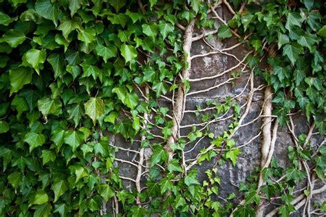 creeper plant on a wall stock photo colourbox