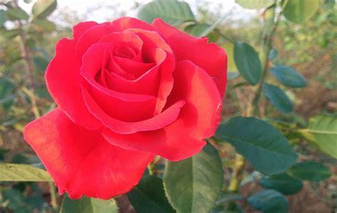 imagenes de rosas flores fotos de flores de rosas rojas