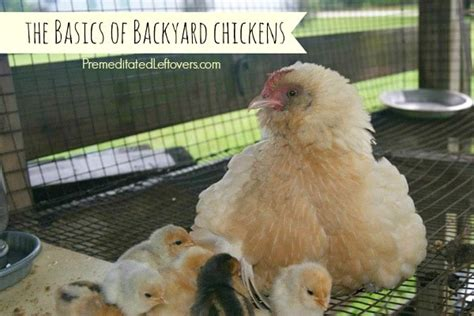 Backyard Chickens Beyond The Basics The Basics Of Raising Backyard Chickens