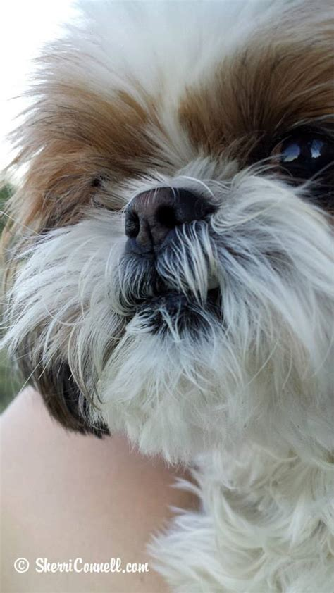 seizures in shih tzu snickers the shih tzu sherriconnell sherri connell