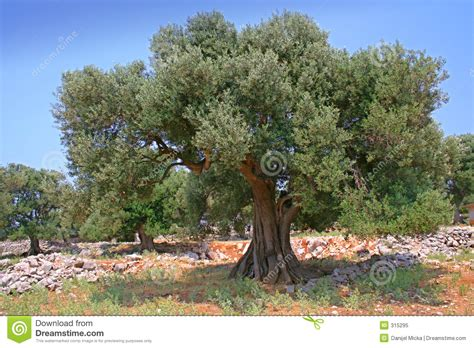 how much does olive trees cost olive tree stock image image of grass mediterranean olive 315295