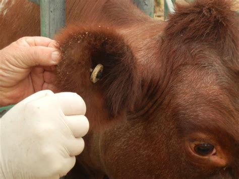 tick on bovine anaemia due to theileria orientalis batog agriculture and food