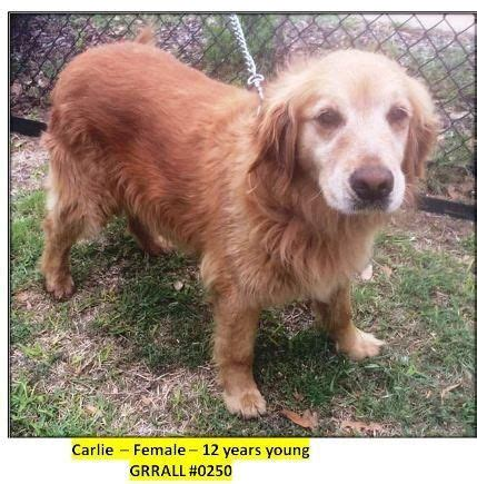 fort worth golden retriever rescue the world s catalog of ideas