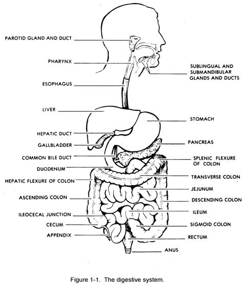 labeling a diagram draw and label a diagram of the digestive system diagram