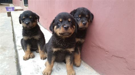rottweiler puppies ready for 6 weeks rottweiler puppies ready for new home pets nigeria
