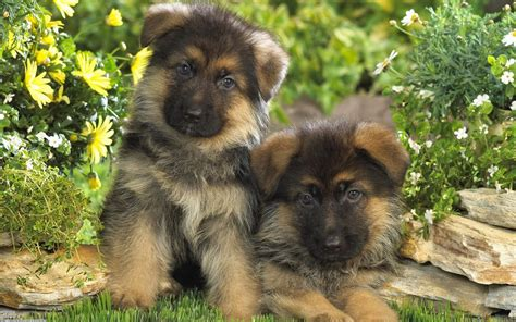 german shepherds puppies breeds wallpaper backgrounds desktop background wallpapers
