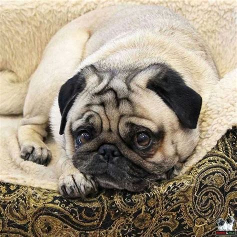 pugs and seizures 17 best images about pugs on family reunions