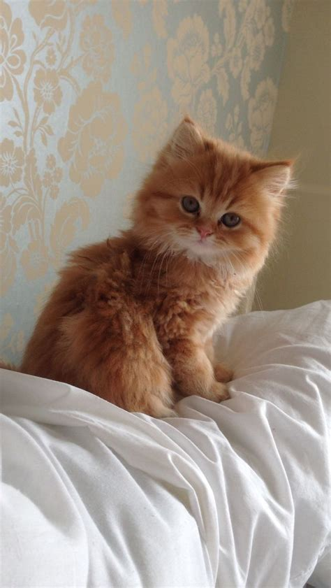 beautiful female kitten american bobtail cat breeds and information father cat