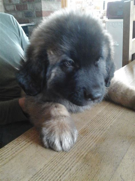 leonberger puppies for sale leonberger puppies for sale thame oxfordshire pets4homes