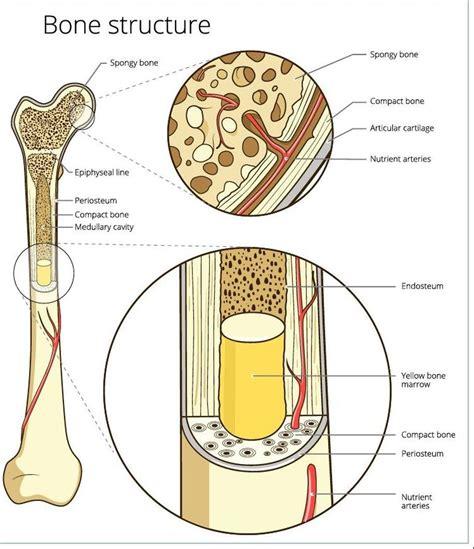 And Bone bones and skeletal tissues scientist