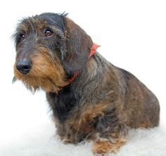hair is wirey men 1000 ideas about miniature wire haired dachshund on