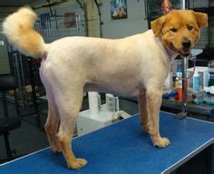 golden retriever smelly coat 1000 images about chow chow grooming on chow chow mane and golden