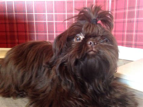 chocolate imperial shih tzu rich chocolate imperial shih tzu durham county durham pets4homes