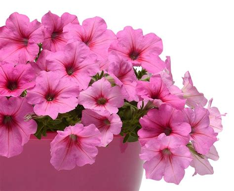 petunia colors easy wave pink petunia pantone color of the year