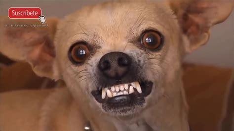 imagenes chistosos de animales videos de risa de animales perros chistosos chihuahua