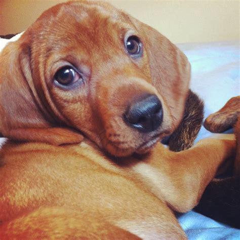 redbone puppies redbone coonhound puppy