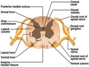 biology 211 gt kovelowski gt flashcards gt spinal cord