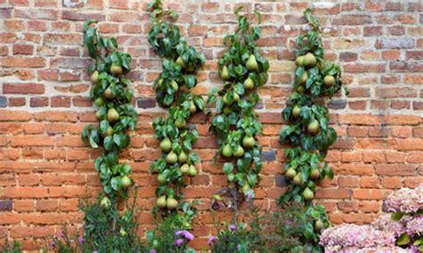 u cordon fruit trees blogpedia to you belajar membentuk pokok buah buahan
