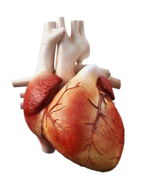 imagenes reales corazon humano cu 225 l es la funci 243 n del coraz 243 n humano