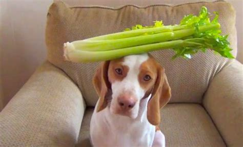 is celery for dogs celery for dogs is celery for dogs is it safe