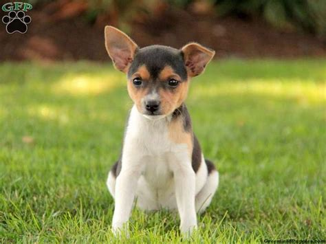 smooth fox terrier puppies smooth fox terrier puppy animals i wouldn t mind