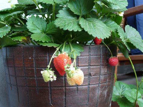 wie pflanze ich erdbeeren 4145 h 228 ngende erdbeeren