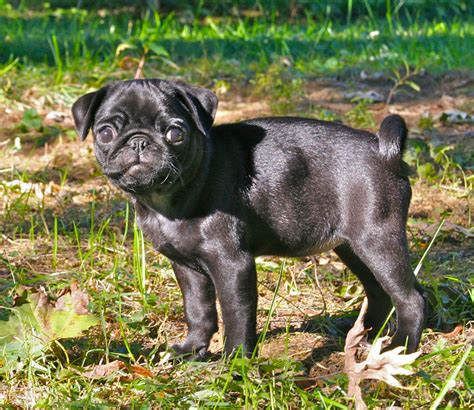 pug puppies wisconsin original file 2 208 215 1 912 pixels file size 7 22 mb mime type image png