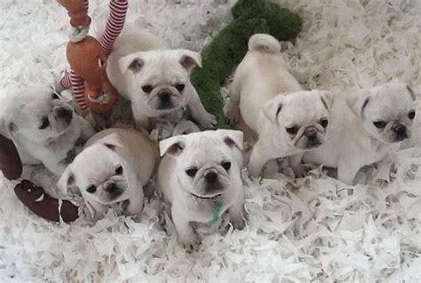 tipos de perros pugs tipos de pug archivos perros pugperros pug