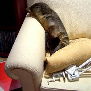 seal on couch fur seal gets comfy on couch abc news australian