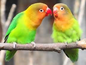 lovebirds as pets pet birds by lafeber co