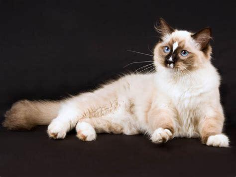 Vidéo chat Ragdoll, vidéos de chats de race Ragdoll   Wamiz