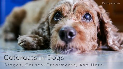 cataracts in dogs cataracts in dogs stages causes treatments and more certapet