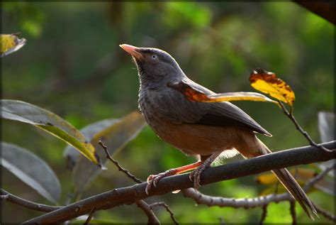 jungle babbler angry bird parth fotopedia