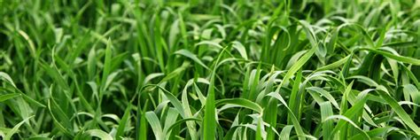 couch grass seeds for sale website launch coming soon cooyar grass seeds