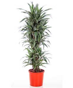 buy house plants buy house plants now dracaena warneckii bakker com