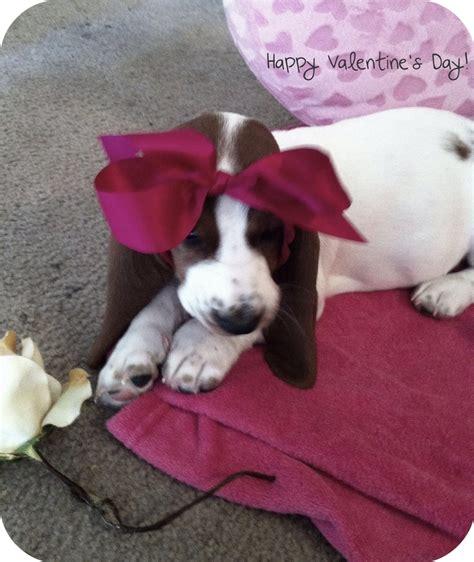 happy valentines day animals happy valentines day puppies animals basset